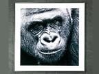 Tavla av Foto på Gorilla