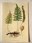 Sköna Ting Botanic ferns
