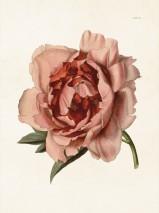Poster, rosa pion, Sköna ting