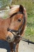 Lollipop. Welshponny Kat B född -83.