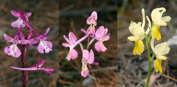 Hybriden Orchis anatolica x pauciflora med föräldraarterna på respektive sida, Thripti, Kreta