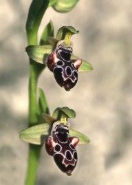 Ophrys kotschyi, endemisk för Cypern