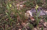 Cephalanthera damasonium, Gargano 2000-04-28