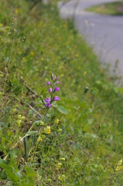 Cephalanthera rubra, Isére (Fr) 2009-06-19