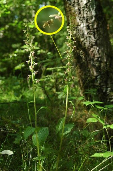 E. helleborine och geting med huvudet fullt av pollinier, Trollhättan 2004-08-01