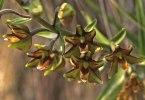 Epipactis veratrifolia, Episkopi, Cypern, 2002-03-16