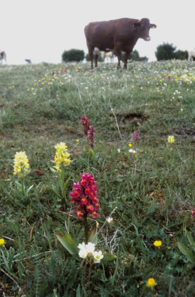 D. sambucina, Öland, Sverige 1995-05-27