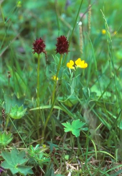 G. nigra, Jämtland, Sverige, 1999-07-20