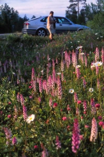 G. conopsea subsp. conopsea, Jämtland, Sverige, juli 1998