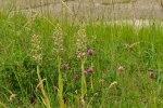 Himantoglossum hircinum, Aveyron (Fr.) 2009-06-15