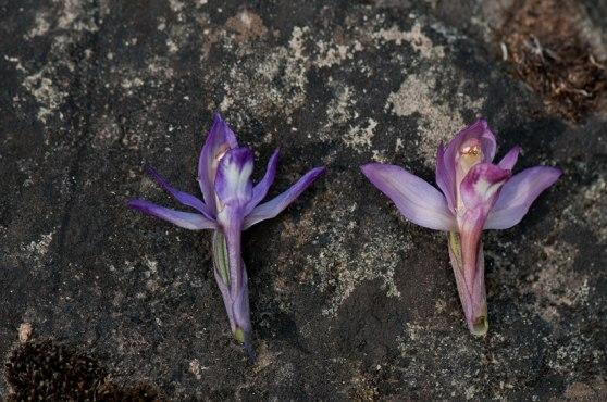 Färgskillnad hos Limodorum abortivum. Skillnaden i storlek är bara en tillfällighet.