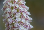 Neotinea maculata, Mt. Argentario, Toscana, 2010-04-18