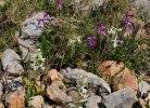Orchis anatolica subsp. anatolica var. alba, Chios (Gr.) 2009-04-08