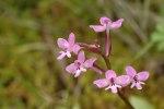 Orchis branchifortii, Sardinien 2008-04-24