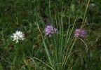 Orchis italica var. alba, Sicilien 2008-04-22