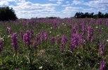 Orchis mascula, Öland