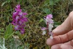 Orchis mascula subsp. ichnusae, Sardinien 2006-04-27