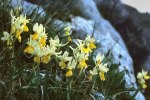 Orchis pauciflora, Björns Kulle, Kreta (Gr.) 1998-04-15