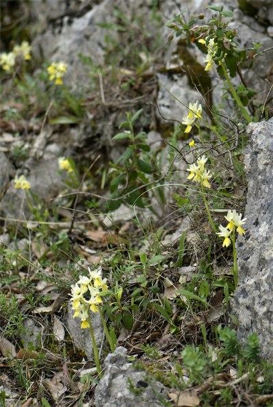 O. pauciflora, Gargano, Italien, 2011-04-25
