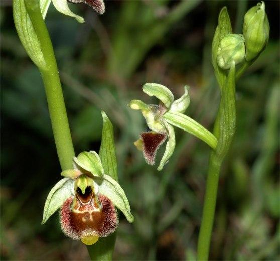 Ophrys annae, Sardinien, 2006-04-23