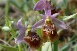 Ophrys apulica, Gargano 2005-04-24