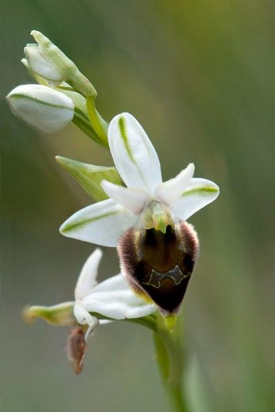 O. argolica subsp. crabronifera, Toscana, 2010-04-18