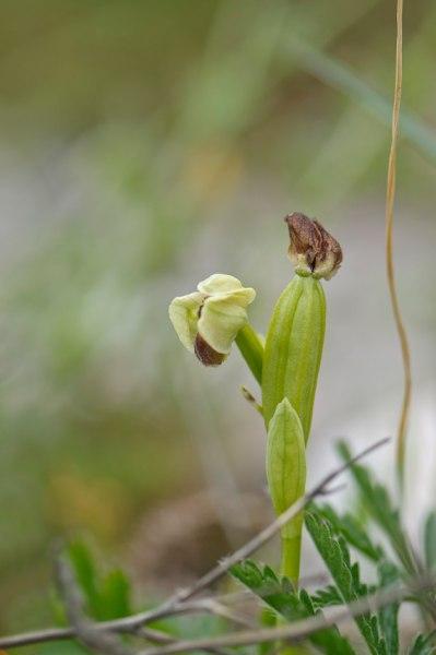 Uppsvälld frökapsel på O. bombyliflora efter lyckat polinering. Gargano, 2011-04-27