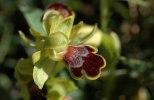 Ophrys cressa, Kreta 2007-04-18