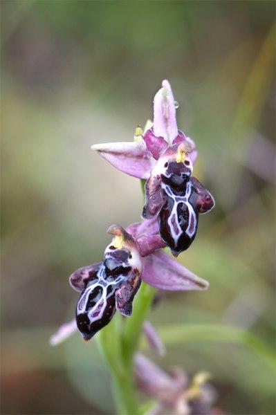 O. cretica subsp- beloniae en regnig dag på Rhodos, 2011-04-03