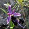 Ophrys ferrum-equinum subsp. labiosa, Chios (Gr.) 2009-04-09