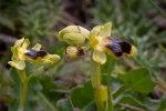 Ophrys_laurensis_4