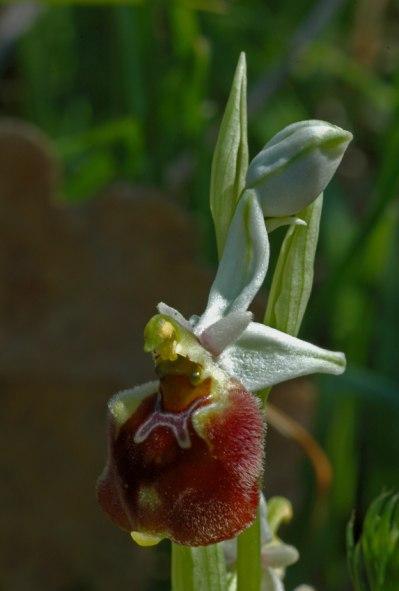 O. parvimaculata, Gargano 2005-04-22