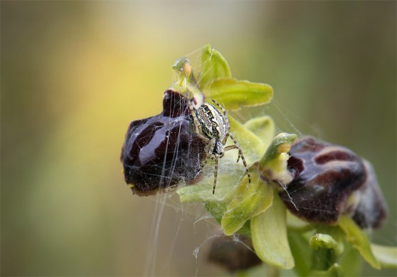 O. passionis tillhör en grupp Ophrys som kallas spindelofrys. Fast det kanske inte denna spindel visste om.