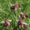 Ophrys spruneri subsp. spruneri, Peloponnesos, 2004-04-14