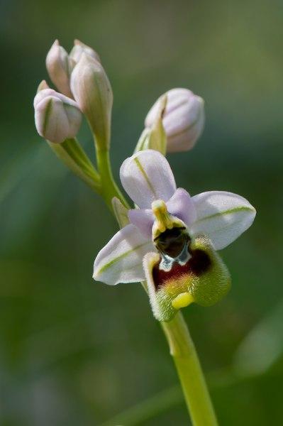 O. tenthredinifera, Toscana, 2010-04-14