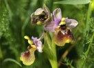 Ophrys tenthredinifera, Gargano 2005-04-29