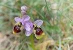 Ophrys tenthredinifera, Gargano 2011-04-25