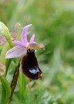 Ophrys bertolonii subsp. bertolonii