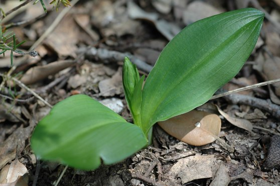 P. chlorantha, Gargano. Oftast är det så här man hittar den när man söker orkidéer på bästa orkidétid (april) vid Medelhavet.