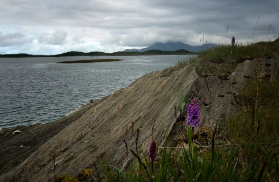 G. borealis, Blomsöy, Nordland, Norge, 2012-07-19