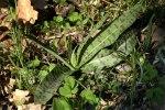 Dactylorhiza fuchsii subsp. fuchsii, Gargano 2005-04-23