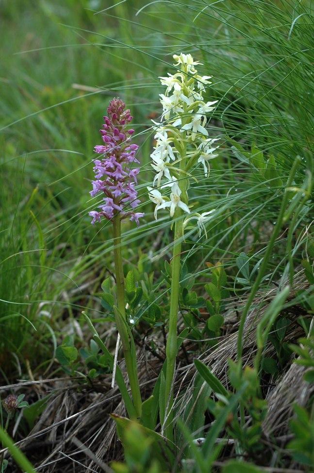 Januari: Två klenoder i skön förening, G. conopsea och P. bifolia subsp. bifolia, Passo Fedaia, Italien 2004-06-25