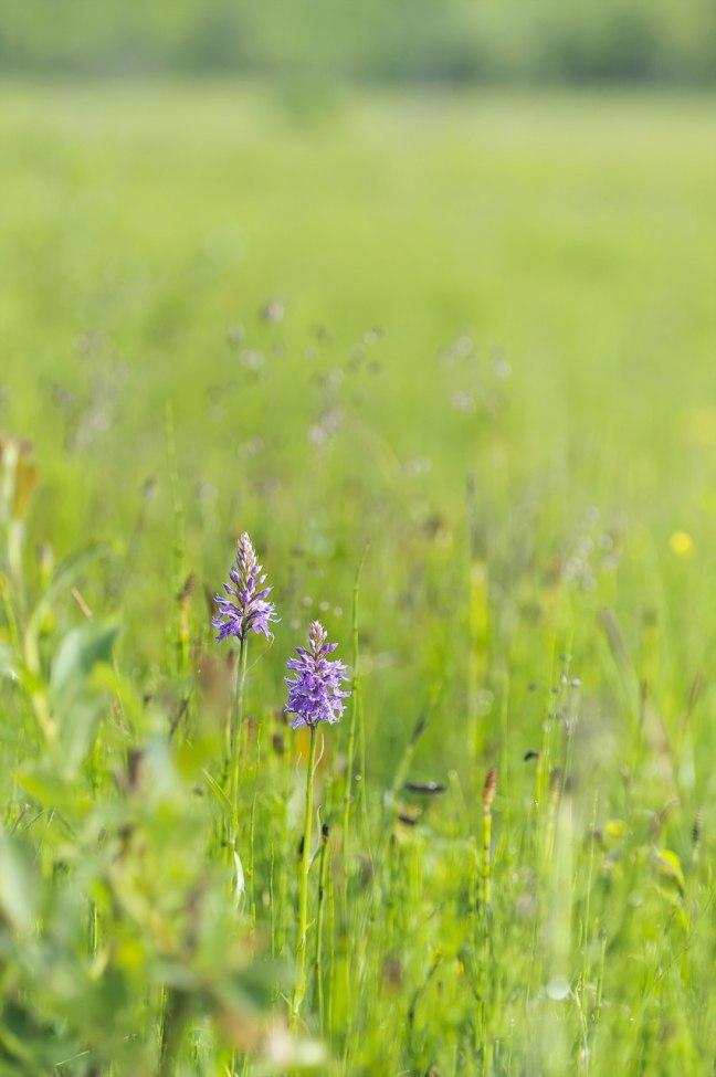 Februari: D. fuchsii subsp. fuchsii, Skogatorp, Falköping 2012-06-17