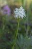 Orchis italica var. alba, Malaga, Spanien 2013-04-07