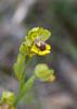 Ophrys lutea quarteirae, Malaga Spanien 2013-04-12