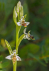 Ophrys sphegifera, Malaga, Spanien 2013-04-08