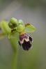 Ophrys dyris, Malaga Spanien 2013-04-12