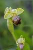 Ophrys fusca subsp. bilunulata, Malaga, Spanien 2013-04-08