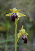 Ophrys fusca subsp. fusca, Malaga, Spanien 2013-04-10