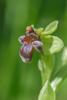 Ophrys bombyliflora, Malaga 2013-04-08